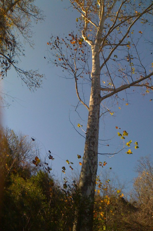 The beautiful tall birch tree that survived the landslide from Hurricane Ivan in 2004