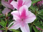 Beautiful large spring azaleas