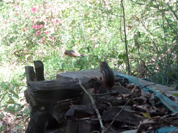 Zoomed out view of chipmunk and female cardinal just outside the basement door