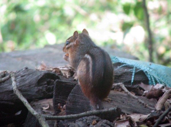 Chipmunk eating some kind of nut or acorn
