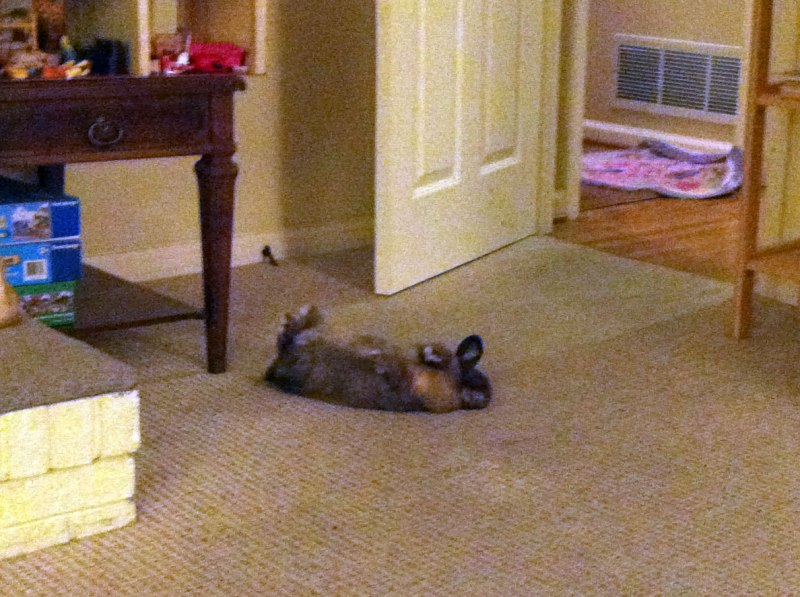 Jaggy the bunny was sound asleep, but if she was trying to play dead then she did an emmy award winning performance for a good 30 seconds ... enough to scare me into thinking maybe she was dead!