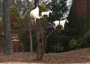 mtngoats-tree-sm