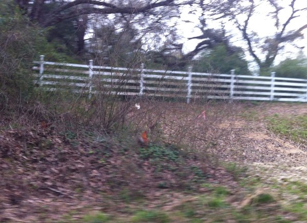 These chickens crossed the road in front of me, couldn't get my camera out in time to get a pic