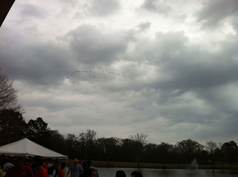 Flock of pelicans approaching the award ceremony on their way to the Mississippi River