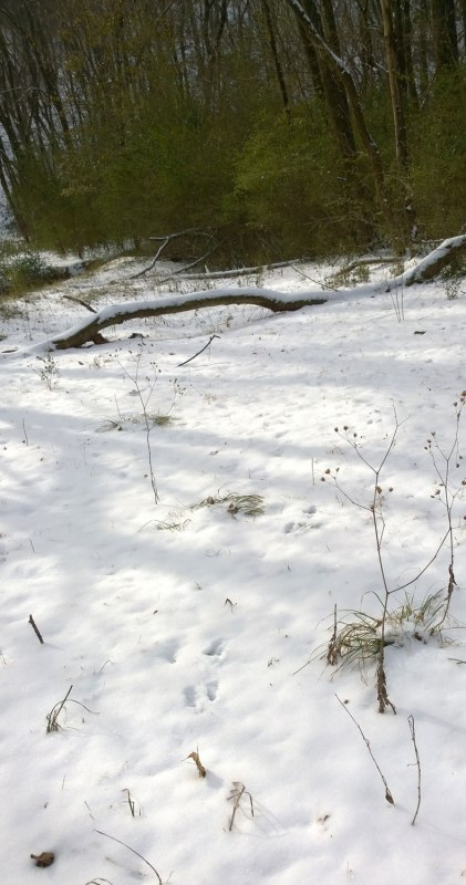 Wed, 1/29 @ 9:52AM - bunny tracks. Following a side trail, I notice these bunny tracks heading towards the woods behind Riverchase Parkway.
