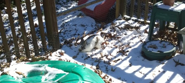 Thurs 1/30 @ 12:05PM - snow bunny Later in the day, we let Fluffy Steve out onto the back porch to get her first experience of snow. She looks like a natural snow bunny, blending in nicely with the snow and leaves.