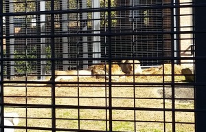 Swung by the lion pen on the UNA  campus as I  was heading out.