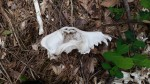 I think this was a dog skull where I stopped to pee between Dawsonville and Dahlonega.